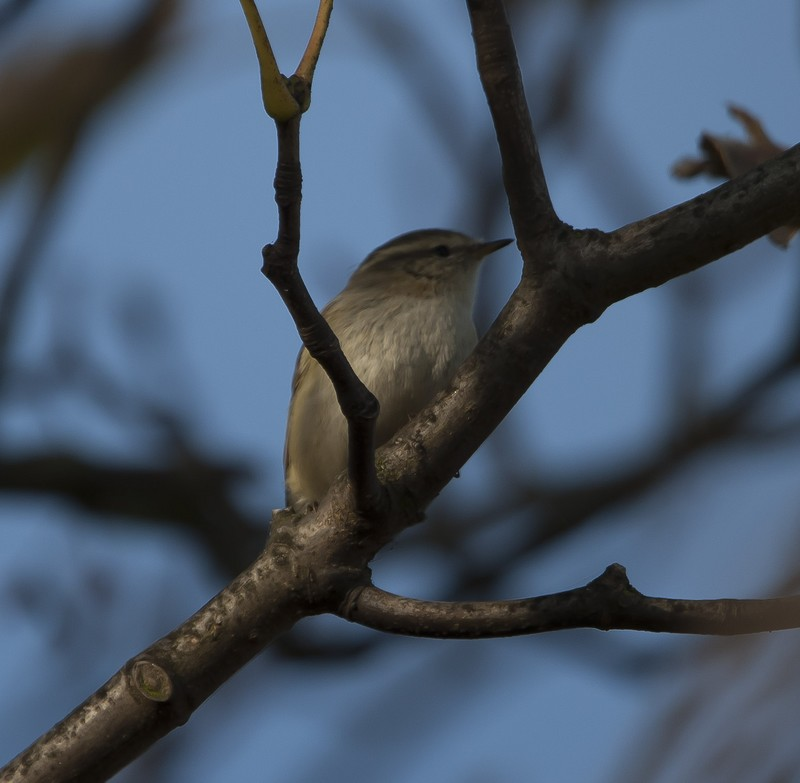 Hume's Yellow-browed Warbler