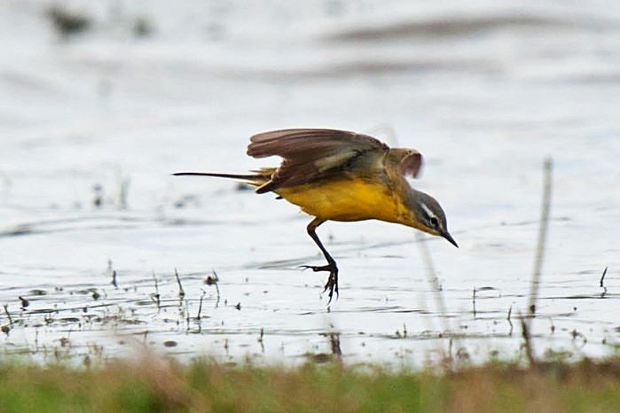 Blue-headed Wagtail