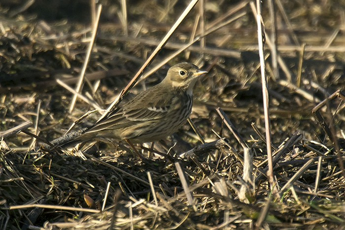 American Buff-bellied Pipit
