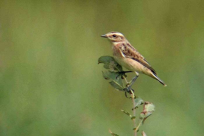 whinchat