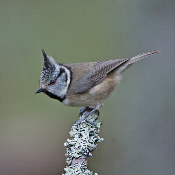 Crested Tit