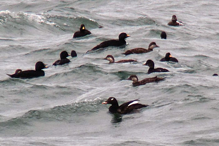 American White-winged Scoter