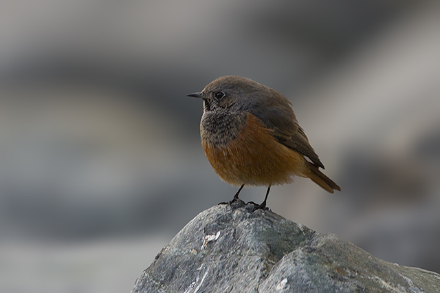 Eastern Black Redstart