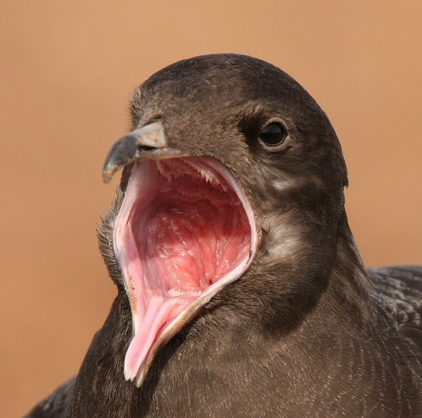 Long-tailed Skua