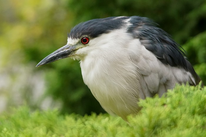 American Night Heron