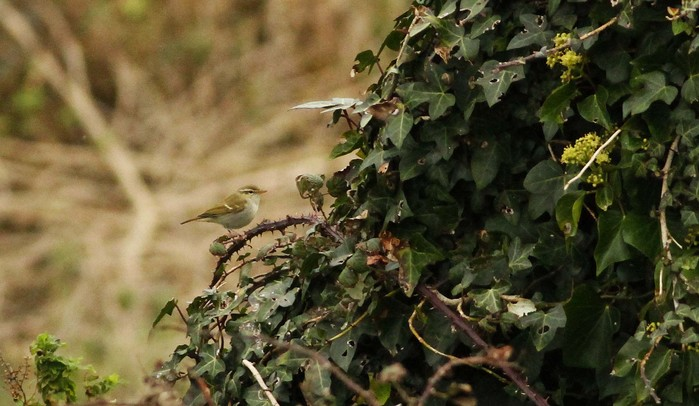 Two-barred Greenish Warbler