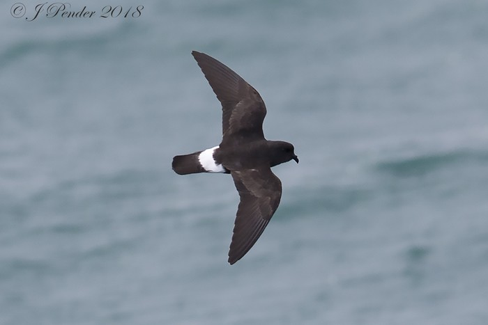 Storm Petrel by Joe Pender