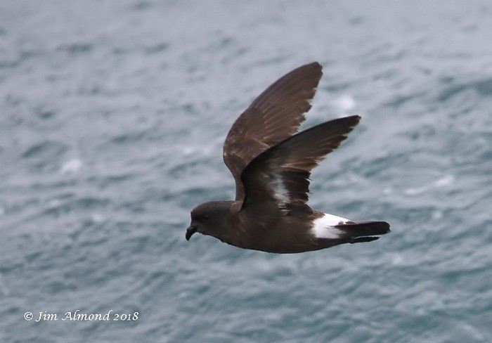 Storm Petrel by Jim Almond