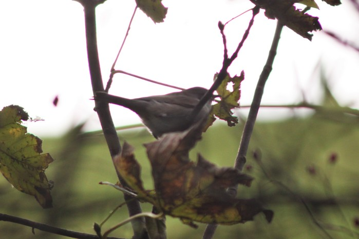 Desert Lesser Whitethroat