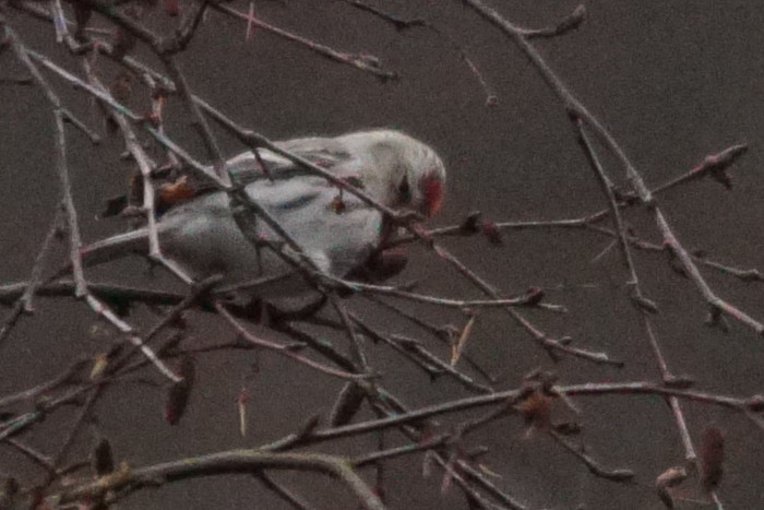 Coues's Arctic Redpoll