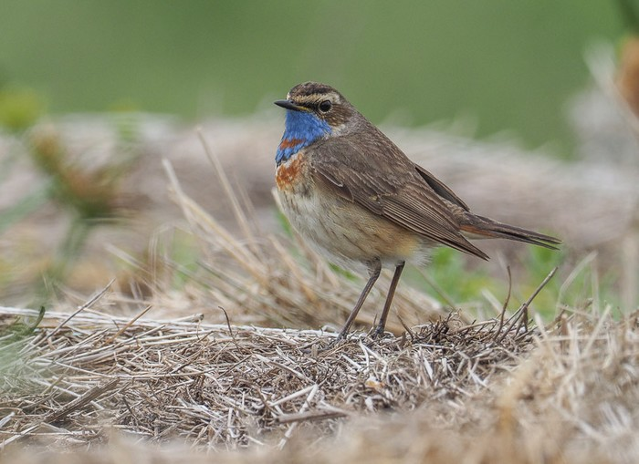 Red-spotted Bluethroat