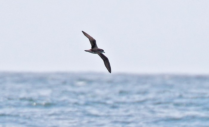 Finders-in-the-Field: possible Zino's Petrel off County Cork