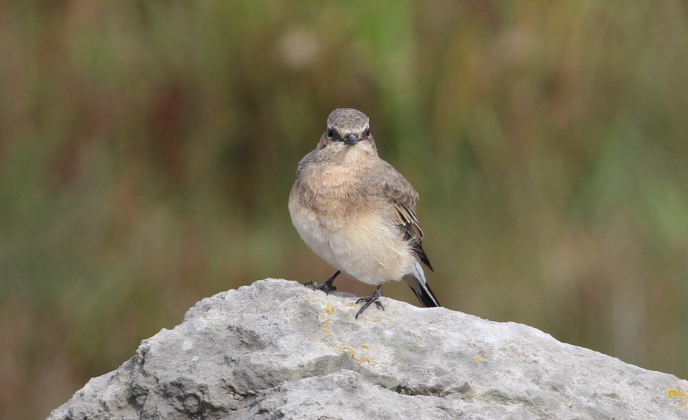 Eastern Black-eared Wheatear