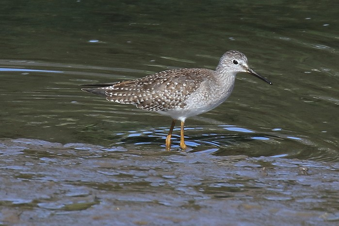 Lesser Yellowlegs