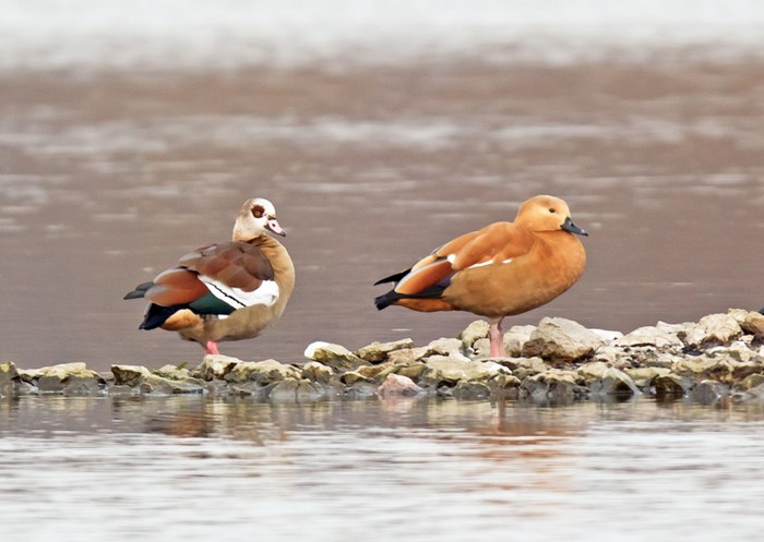 Egyptian Goose & Ruddy Shelduck (hybrid)
