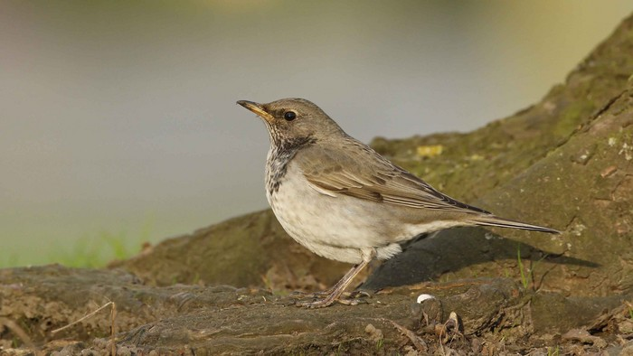 Black-throated Thrush