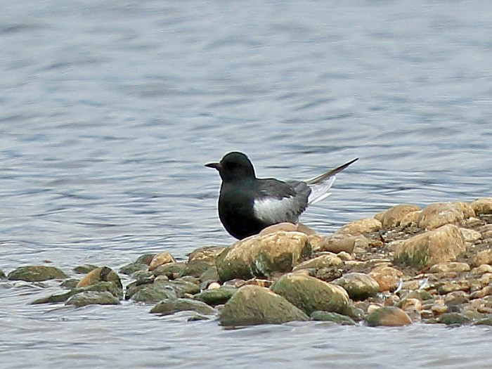 White-winged Black Tern