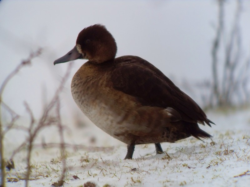 Tufted Duck (or hybrid)