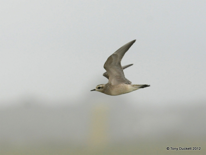 Rare bird alerts weekly birding round up 10 16 oct 2012 american golden plover strys isles of scilly tony duckett freerunsca Images