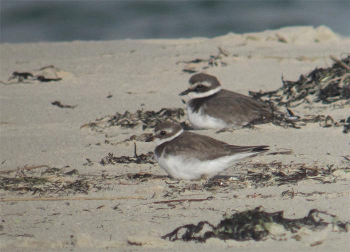 Hayling Island Big Birds
