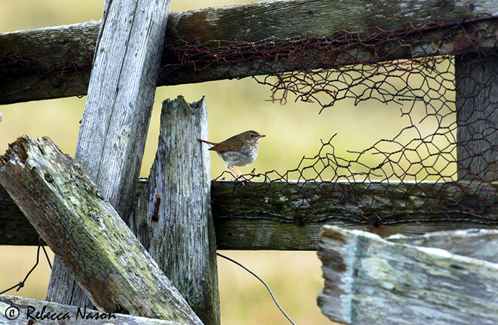 Siberian Rubythroat - capturing the ultimate shot of the ultimate ...