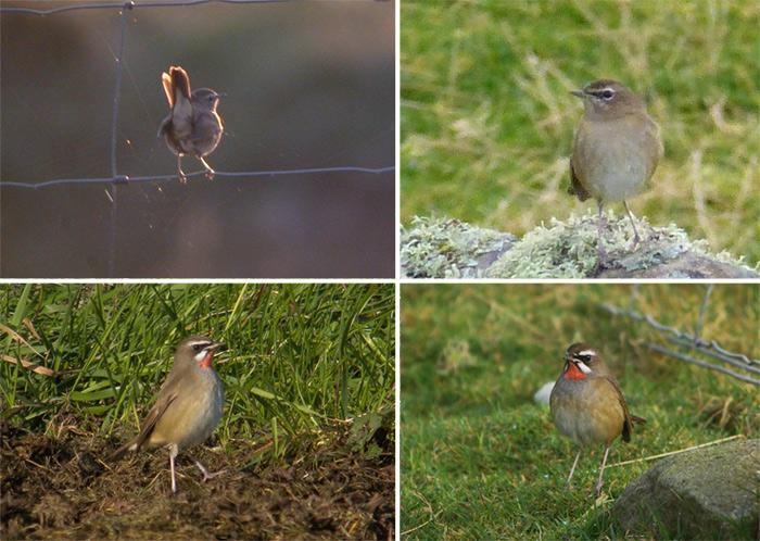12 Birds of Christmas 2014: #9 Siberian Rubythroat