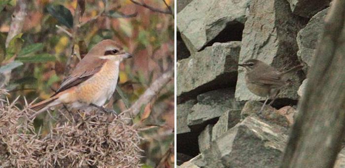 The @RareBirdAlertUK 12 Birds of Christmas 2015: #4 Chestnut Bunting