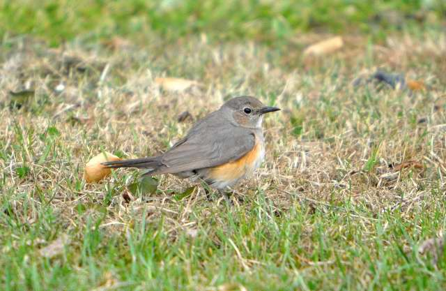 White-throated Robin