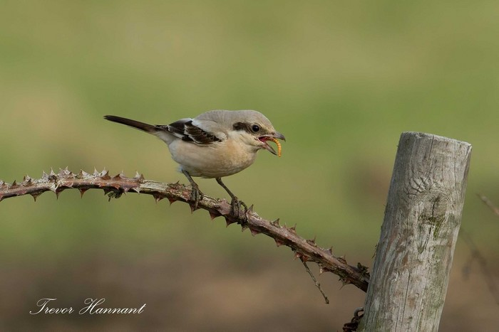 Steppe Grey Shrike