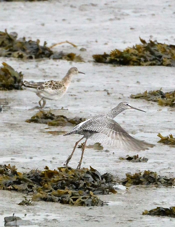 Ruff and Spotted Redshank