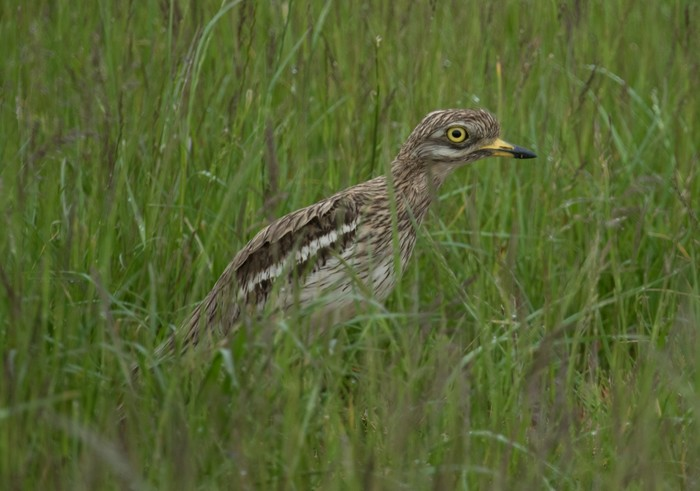 Stone Curlew