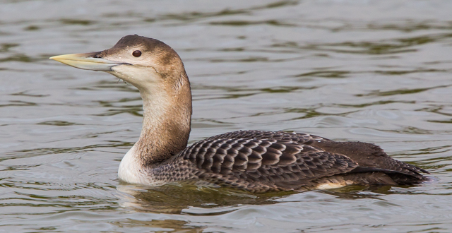 White-billed Diver