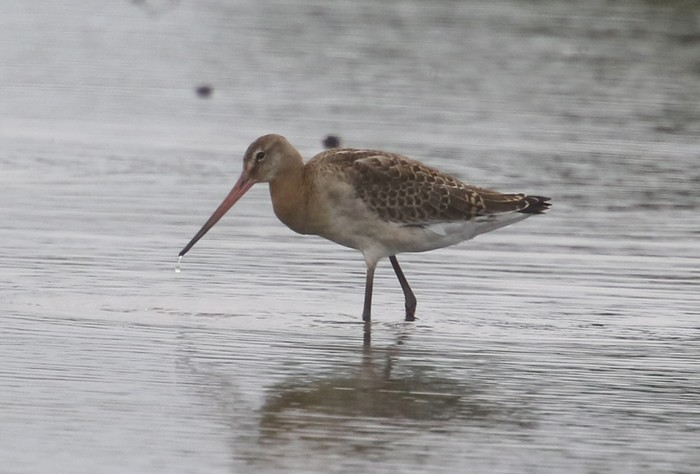 Continental Black-tailed Godwit