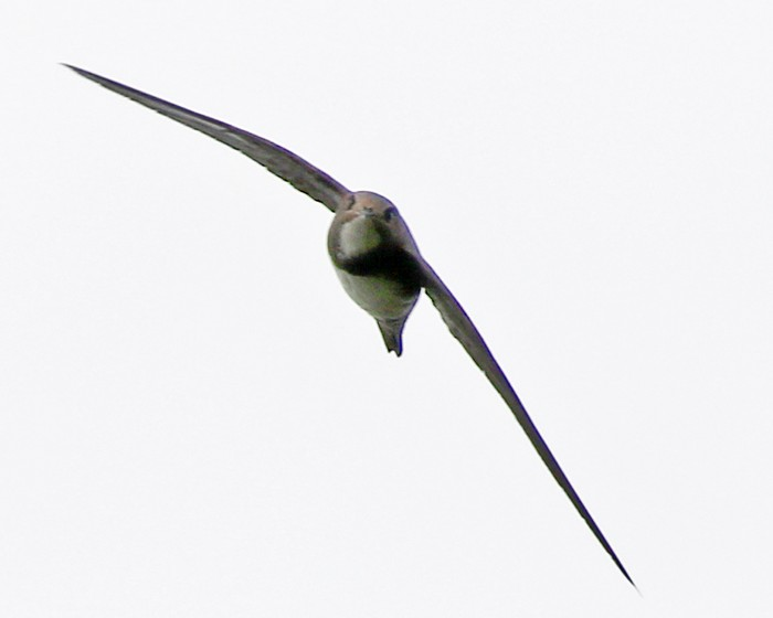Alpine Swift