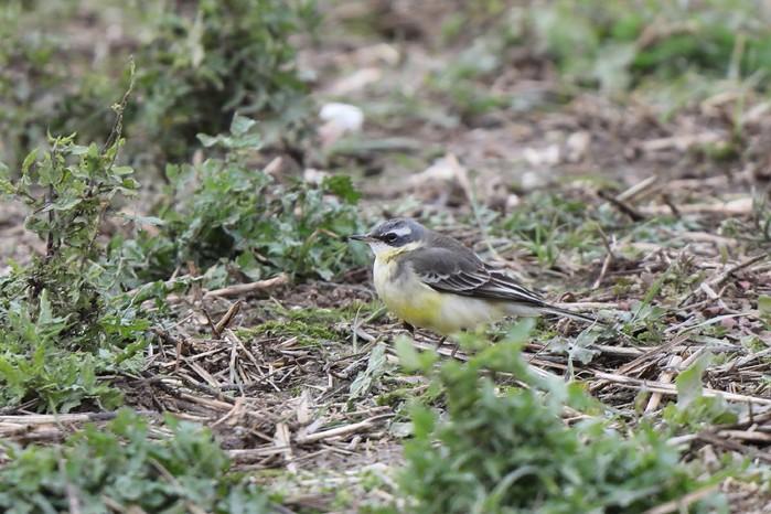 Blue-headed Eastern Yellow Wagtail