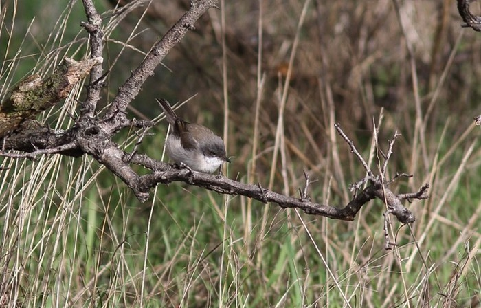 Siberian Lesser Whitethroat