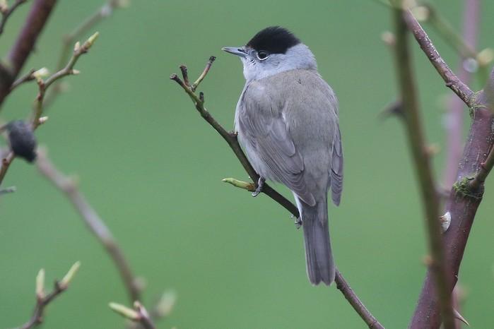 Bird feeders have reversed blackcaps' migration