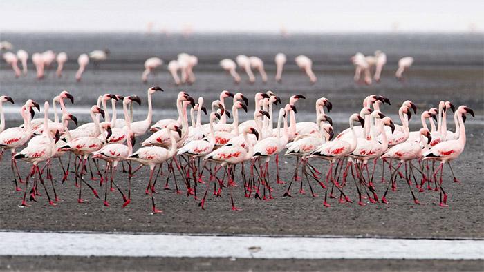 Bumper breeding season at Tanzania's 'Flamingo Factory' lake