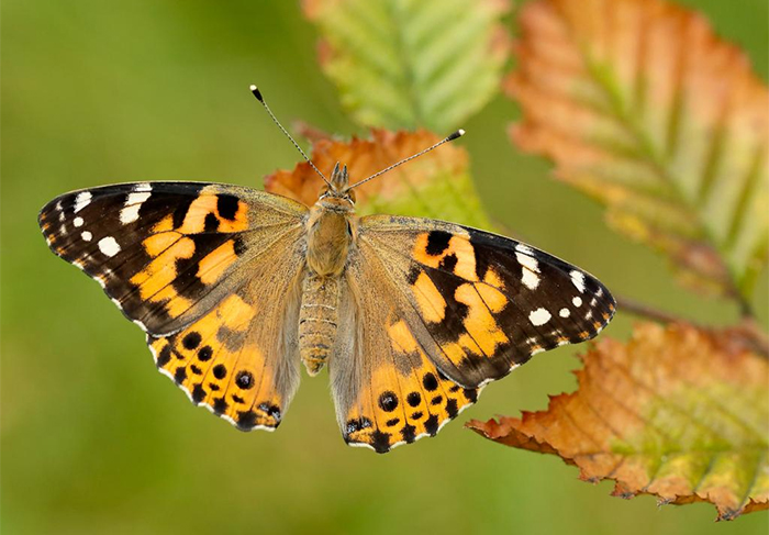 2019 - The Year of the Painted Lady