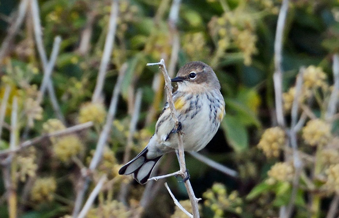 The @RareBirdAlertUK birding round-up 9 - 15 Oct