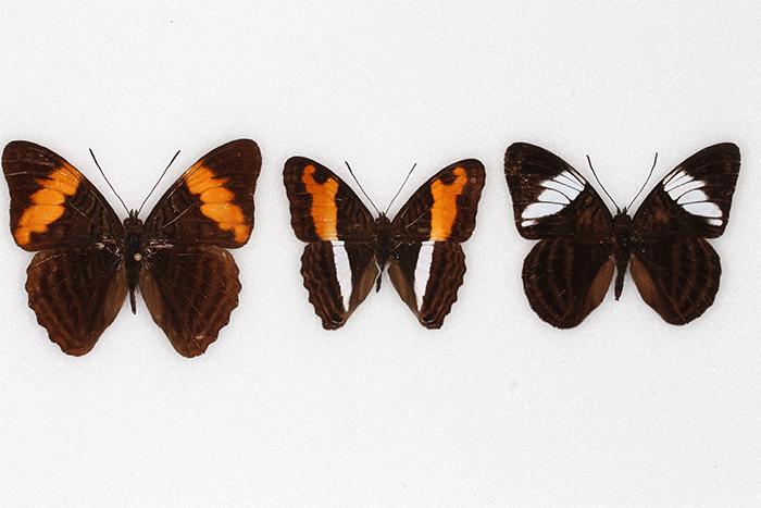 Birds learn to avoid flashy, hard-to-catch butterflies
